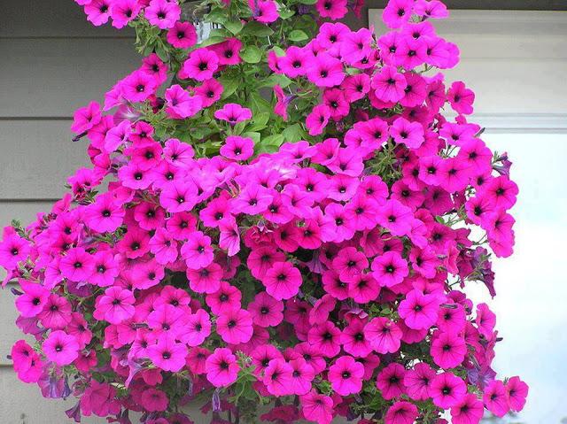 как ухаживать за цветущей петунией