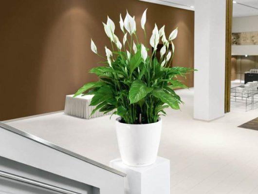 Как ухаживать за цветком Женское счастье (спатифиллум) в домашних условиях