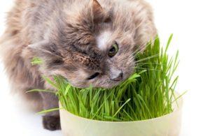 Как вырастить траву для кошки дома