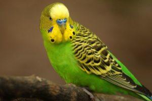 Как ухаживать за волнистым попугайчиком