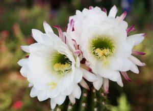 Как ухаживать за кактусами, чтобы они цвели в домашних условиях