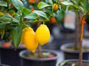 Как ухаживать за лимоном в домашних условиях, чтобы он плодоносил