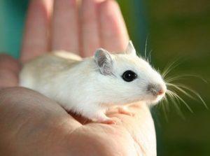 К чему снятся мыши во сне женщине