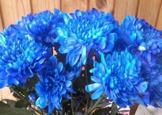хризантемы синие в букете