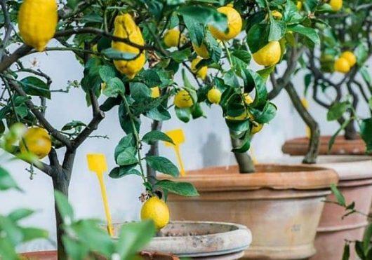 саженцы лимона для дачи