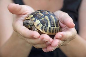 Как правильно ухаживать за степной среднеазиатской черепахой в домашних условиях