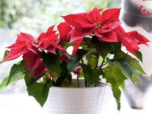 Как ухаживать за цветком рождественская звезда (пуансеттия) в домашних условиях
