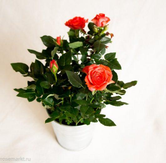 комнатная роза в горшке