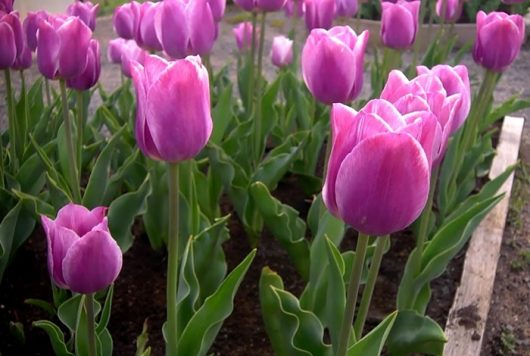 Как сажать тюльпаны осенью в открытый грунт
